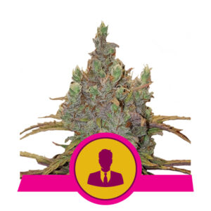 Royal Queen Seeds El Patron
