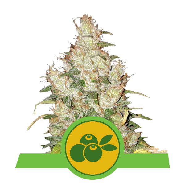 Royal Queen Seeds Haze Berry autoflower