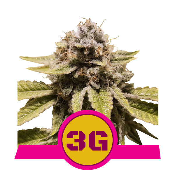 Royal Queen Seeds Triple G
