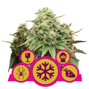 Royal Queen Seeds Feminized Mix