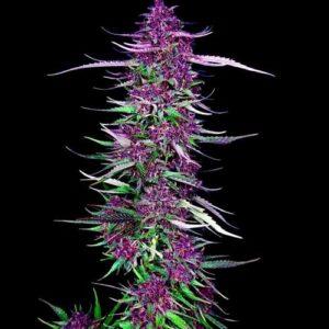 Purple Berry Kush