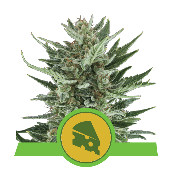 Royal Queen Seeds Royal Cheese Automatic