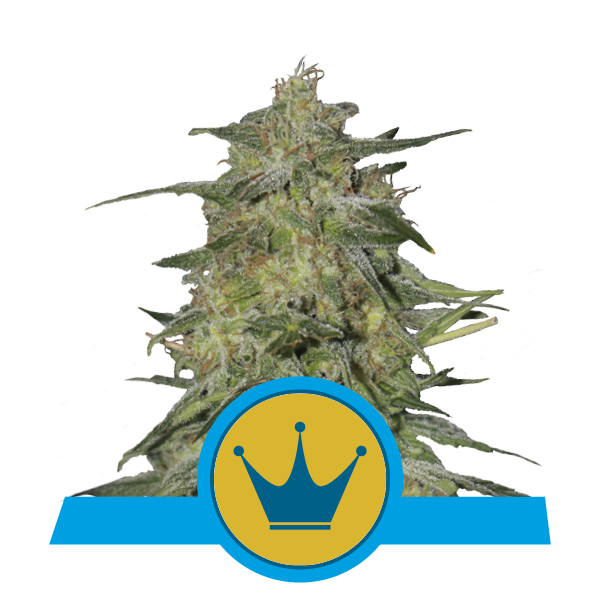 Royal Queen Seeds Royal Highness