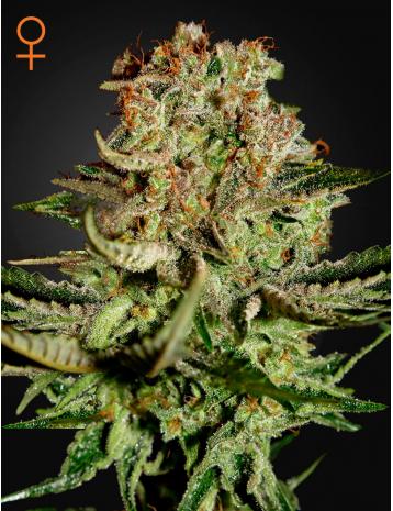 Green House Seeds Super Bud