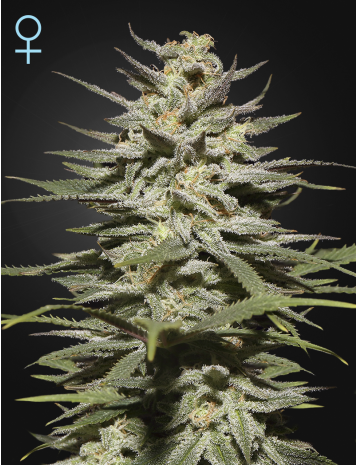 Green House Seeds Super Lemon Haze Autoflower CBD
