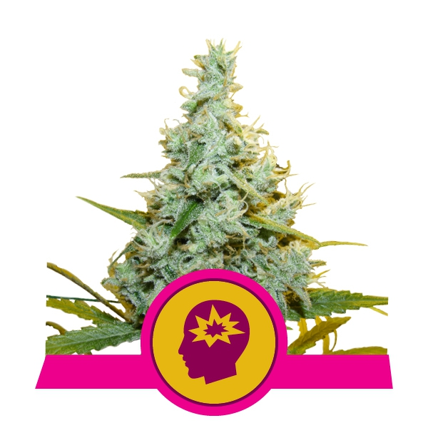 Royal Queen Seeds RQS - AMG