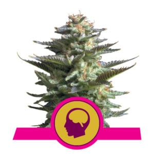 Royal Queen Seeds Amnesia Haze