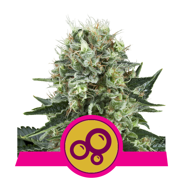 Royal Queen Seeds Bubble Kush