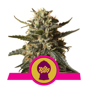 Royal Queen Seeds Bubblegum XL