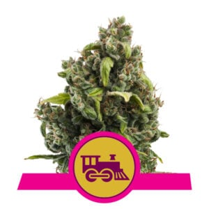 Royal Queen Seeds Candy Kush Express - Fast Flowering