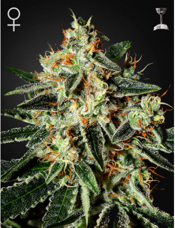 Green House Seeds Cheese