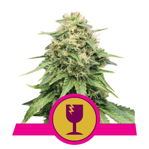 Royal Queen Seeds Critical