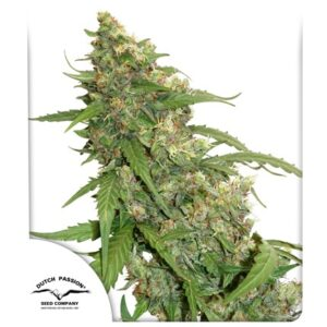 Dutch Passion CBD Auto Compassion Lime®