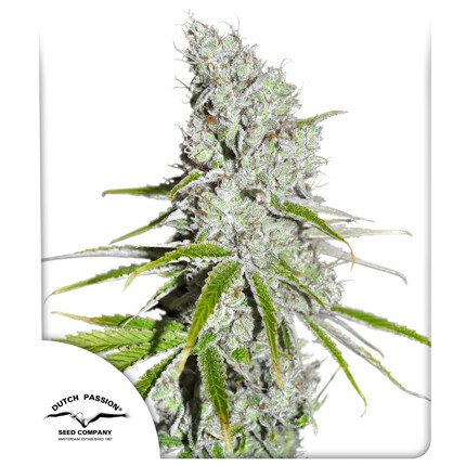 Dutch Passion CBD Skunk Haze®