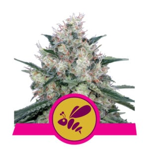 Royal Queen Seeds Honey Cream - Fast Flowering