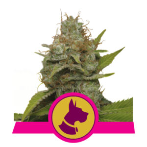 Royal Queen Seeds Kali Dog