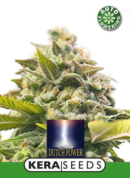 kera dutch power autoflower