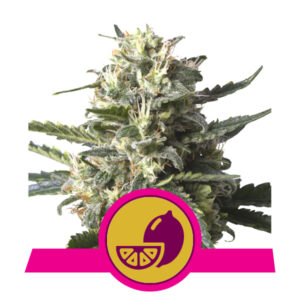 Royal Queen Seeds Lemon Shining Silver Haze