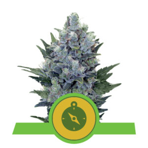Royal Queen Seeds Northern Light Automatic