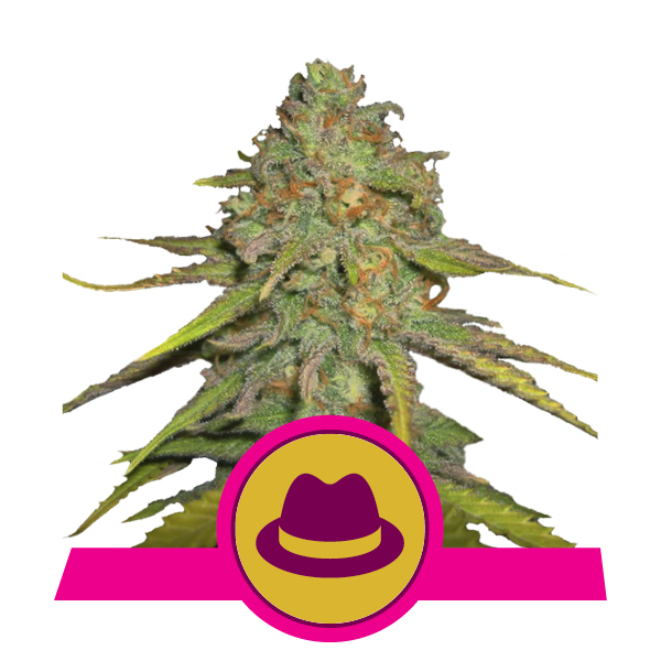 Royal Queen Seeds O.G. Kush