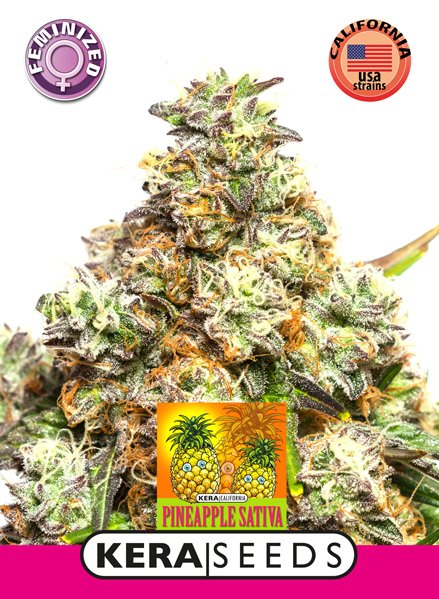 Kera Pineapple sativa