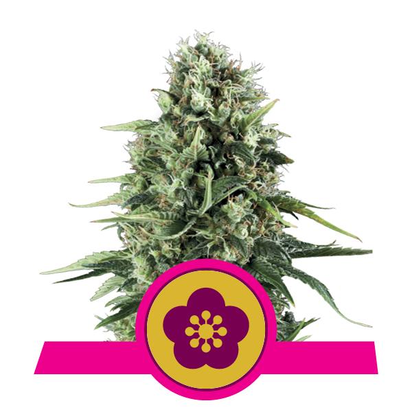 Royal Queen Seeds Power Flower