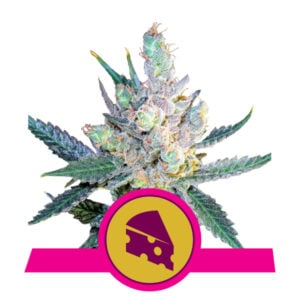 Royal Queen Seeds Royal Cheese - Fast Flowering