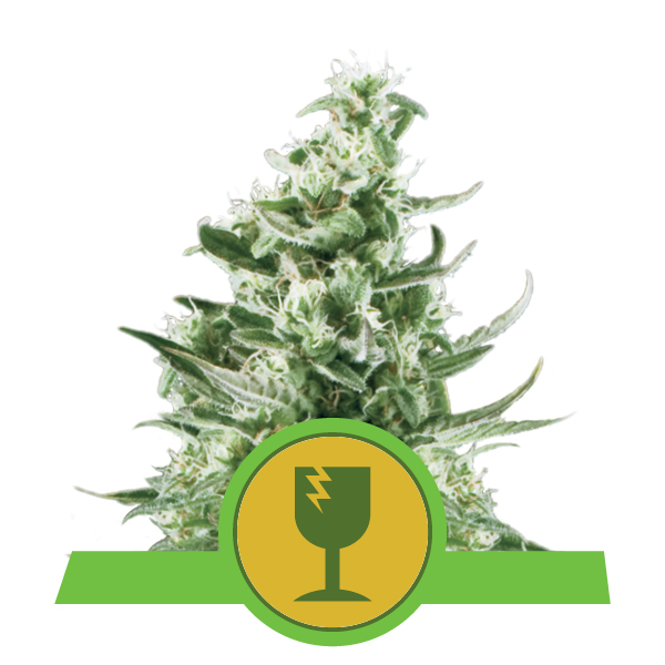 Royal Queen Seeds Royal Critical Automatic