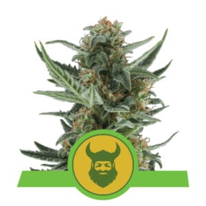 Royal Queen Seeds Royal Dwarf