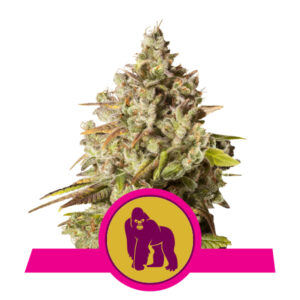 Royal Queen Seeds Royal Gorilla