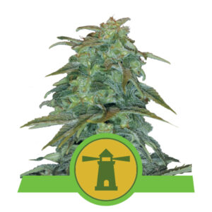 Royal Queen Seeds Royal Haze Automatic