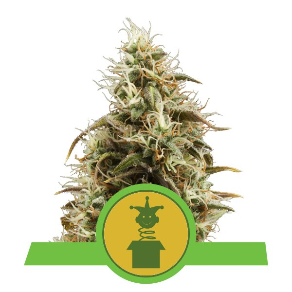 Royal Queen Seeds Royal Jack Automatic