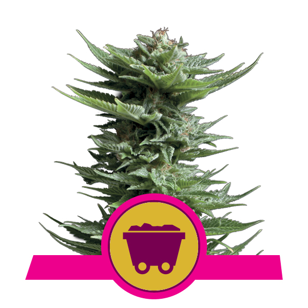 Royal Queen Seeds Shining Silver Haze