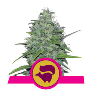 Royal Queen Seeds Skunk XL