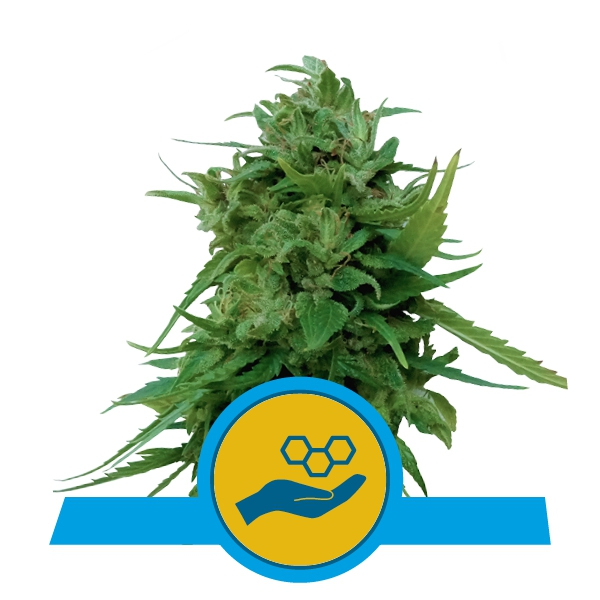 Royal Queen Seeds RQS - Solomatic