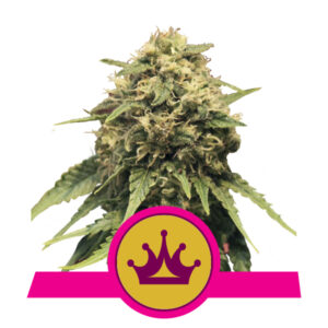 Royal Queen Seeds Special Queen #1