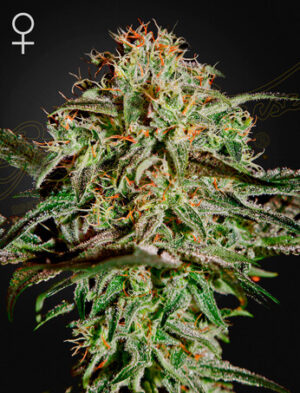 Green House Seeds King's Juice