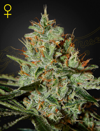 Green House Seeds Alaskan Ice
