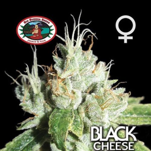 Big Buddha Black Cheese gefeminiseerde zaden