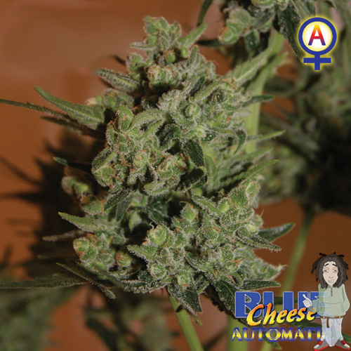 Big Buddha Blue Cheese Autoflowering gefeminiseerde zaden