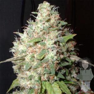 Big Buddha Blue Cheese gefeminiseerde zaden