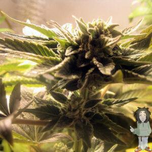 Big Buddha Chiesel Autoflowering gefeminiseerde zaden