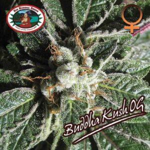 Big Buddha Kush OG gefeminiseerde zaden