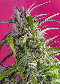 Sweet Seeds Crystal Candy auto