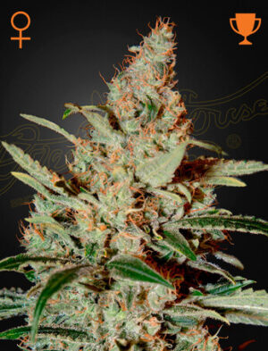 Green House Seeds Chemdog