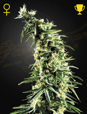 Green House Seeds Hawaiian Snow