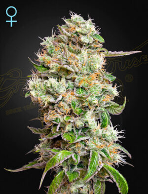Green House Seeds Kings Kush Auto CBD