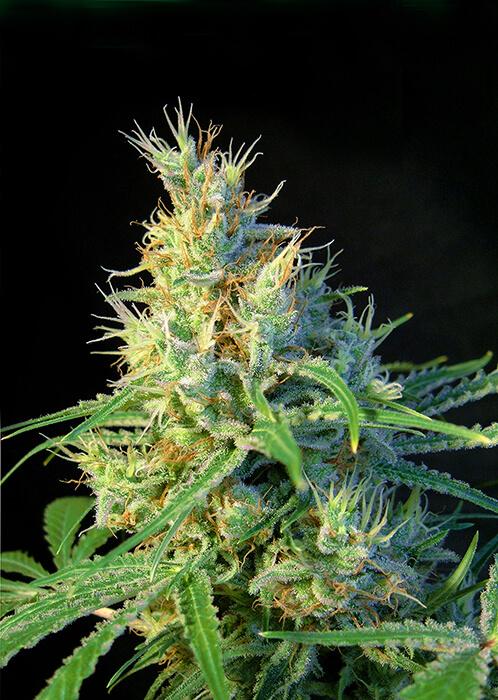 Sweet Seeds Psicodelicia