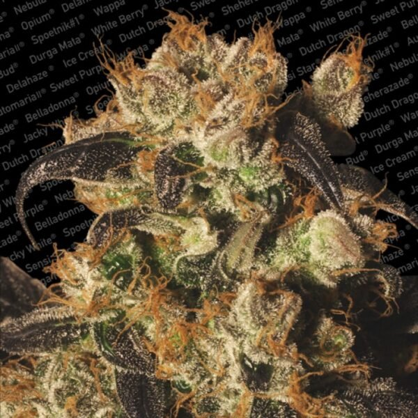 Paradise Seeds White Berry
