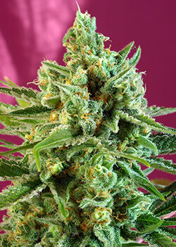 Sweet Seeds S.A.D. Sweet Afgani Delicious CBD®